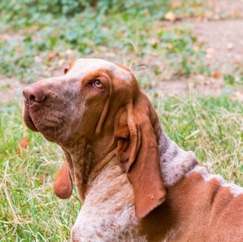 Photo of adult Bracco Italiano