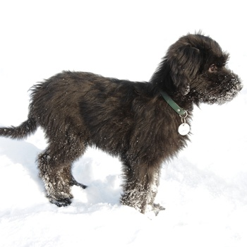 Photo of Briard puppy