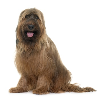 Photo of adult Briard