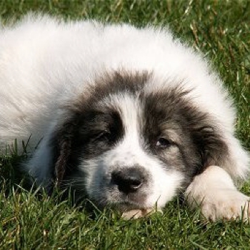Photo of Bucovina Shepherd Dog puppy