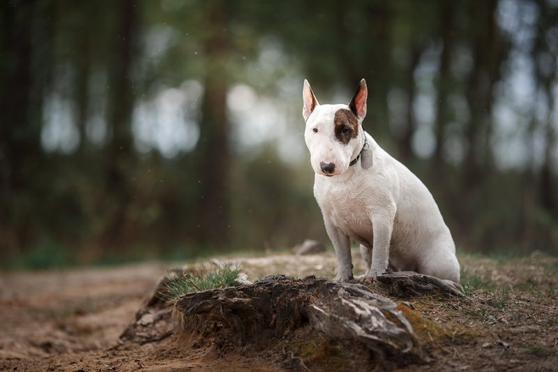 Bull Terrier Large Photo