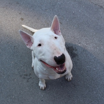Photo of adult Bull Terrier