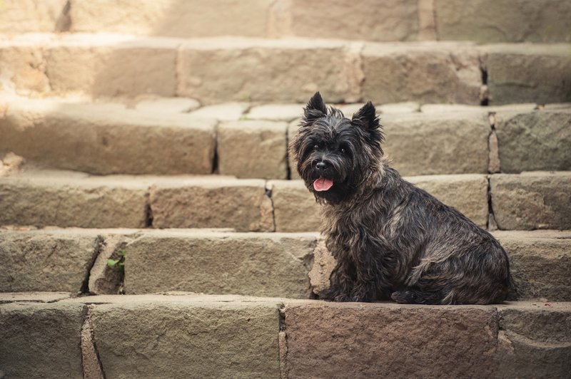 Cairn Terrier Large Photo