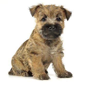 Photo of Cairn Terrier puppy