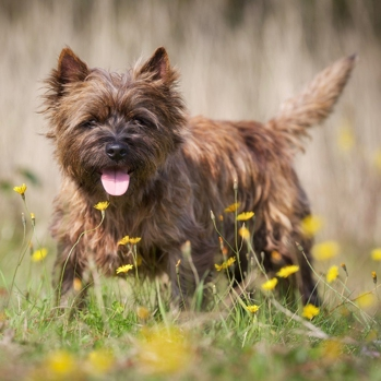 Photo of adult Cairn Terrier