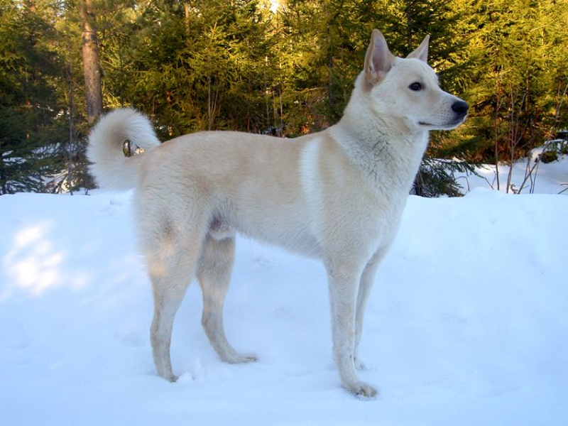 Canaan Dog Large Photo