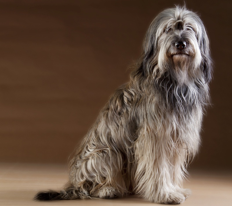 Catalan Sheepdog Large Photo