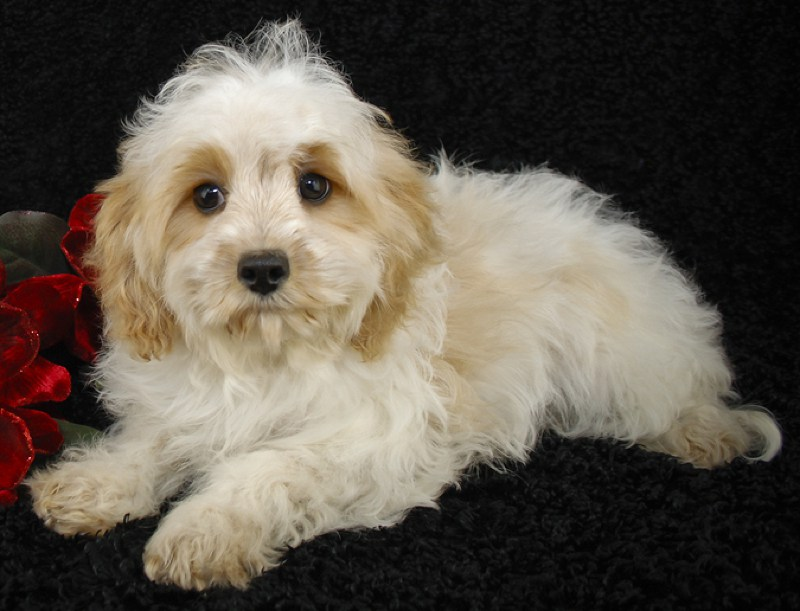 Cavachon Large Photo