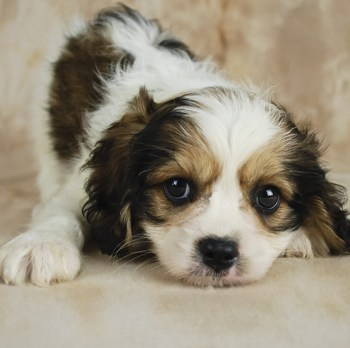Photo of Cavachon puppy