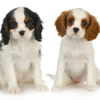 Photo of Cavalier King Charles Spaniel puppy