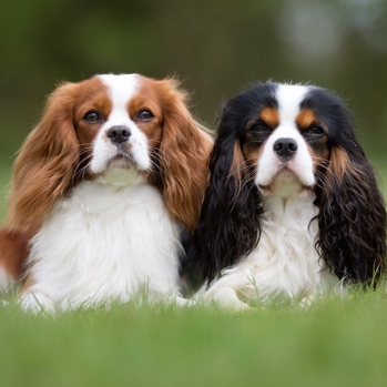 Photo of adult Cavalier King Charles Spaniel