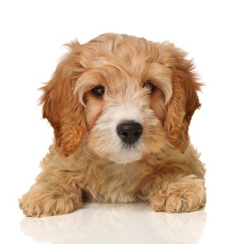 Photo of Cavapoo puppy