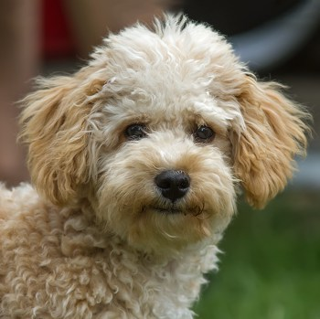 Photo of adult Cavapoo
