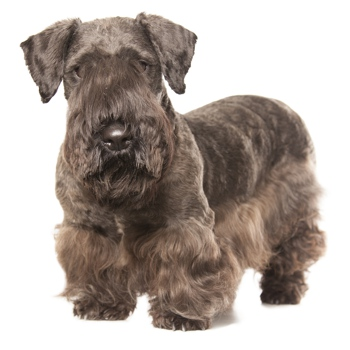 Photo of adult Cesky Terrier