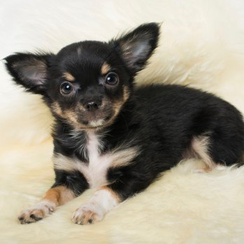 Photo of Chihuahua puppy