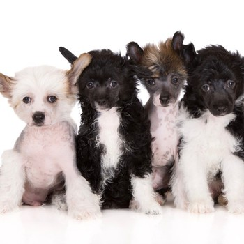 Photo of Chinese Crested Dog puppy