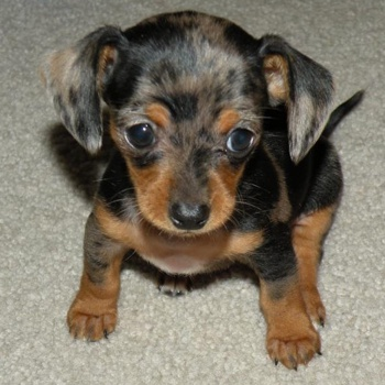 Photo of Chiweenie puppy