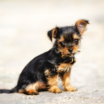Photo of Chorkie puppy