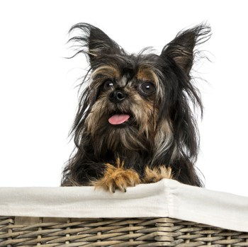 Photo of adult Chorkie