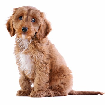 Photo of Cockapoo puppy