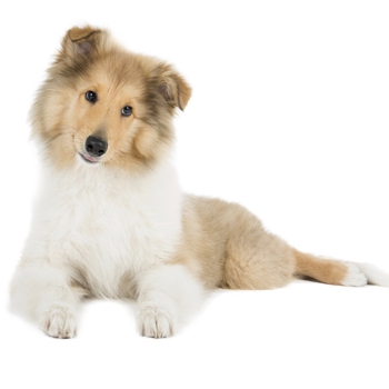 Photo of Collie puppy
