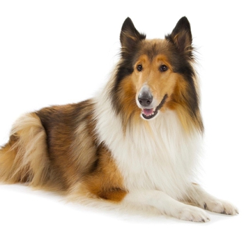 Photo of adult Collie