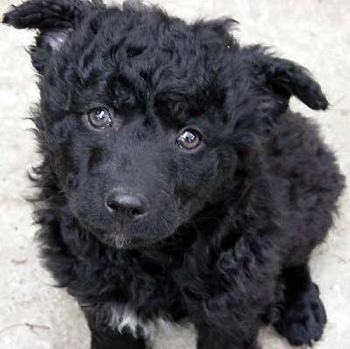 Photo of Croatian Sheepdog puppy