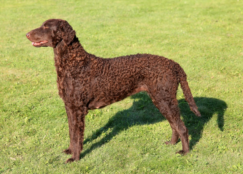 Curly Coated Retriever Large Photo