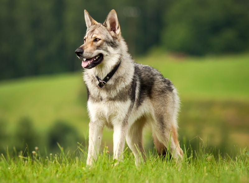 Czechoslovakian Wolfdog Large Photo