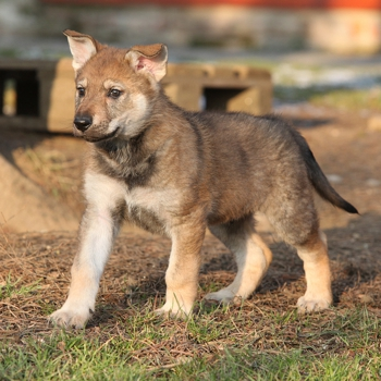 Photo of Czechoslovakian Wolfdog puppy