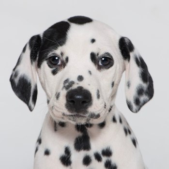 Photo of Dalmatian puppy