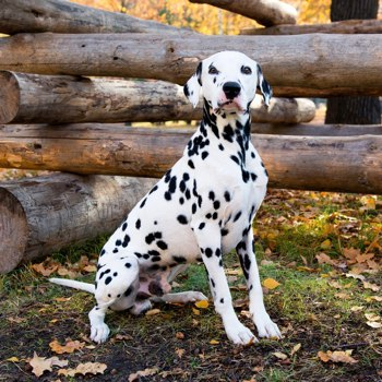 Photo of adult Dalmatian