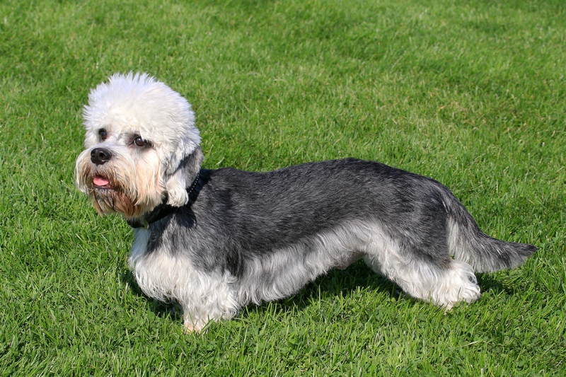 Dandie Dinmont Terrier Large Photo