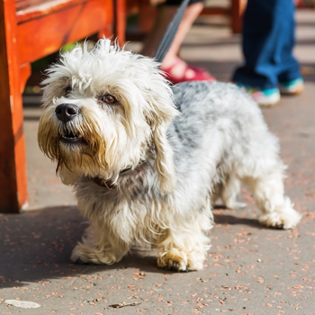 Photo of adult Dandie Dinmont Terrier