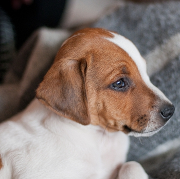 Photo of Danish Swedish Farmdog puppy