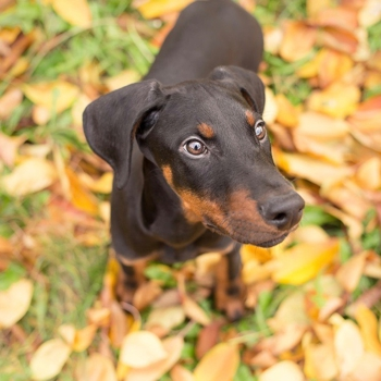 Photo of Doberman puppy