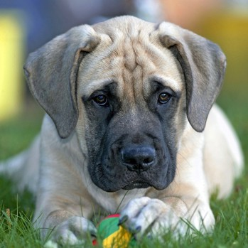 Photo of English Mastiff puppy