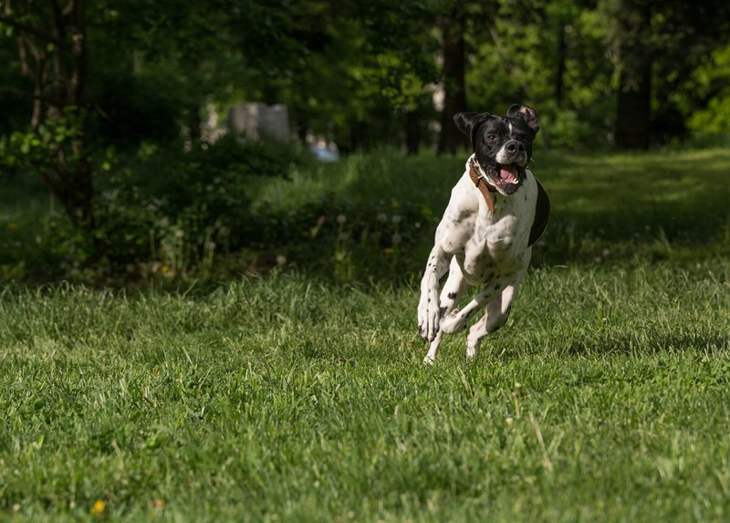 English Pointer Large Photo