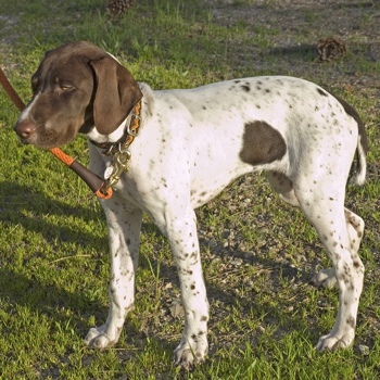 Photo of English Pointer puppy