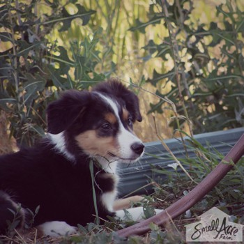Photo of English Shepherd puppy