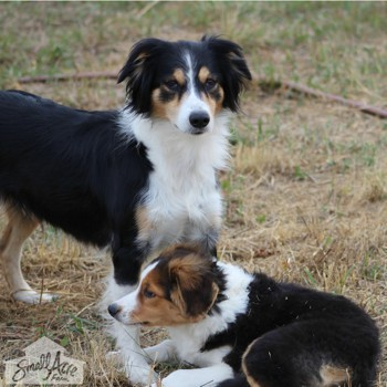 Photo of adult English Shepherd