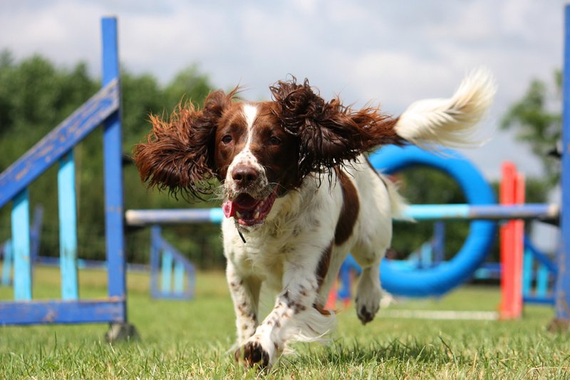 English Springer Spaniel Large Photo