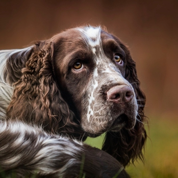 Photo of adult English Springer Spaniel