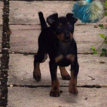 Photo of English Toy Terrier puppy