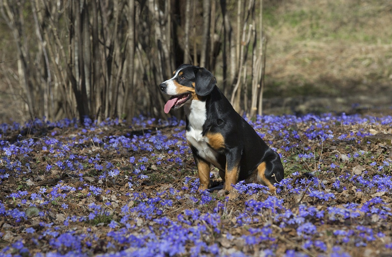 Entlebucher Mountain Dog Large Photo