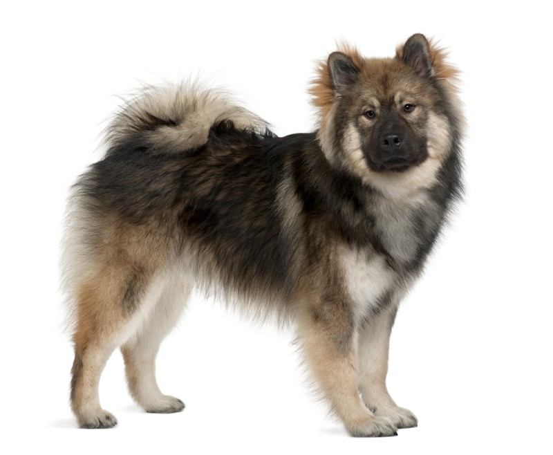 Eurasier Large Photo