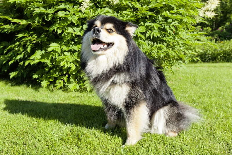 Finnish Lapphund Large Photo