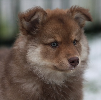 Photo of Finnish Lapphund puppy