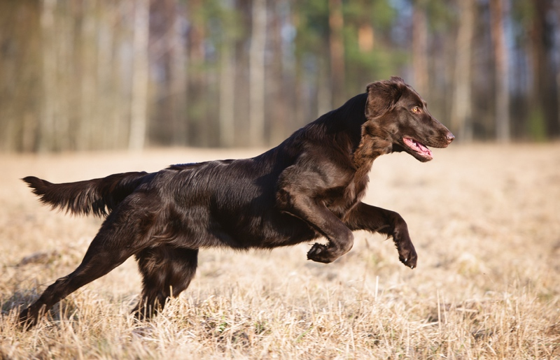Flat Coated Retriever Large Photo