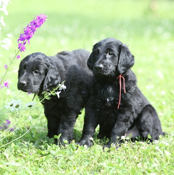 Photo of Flat Coated Retriever puppy